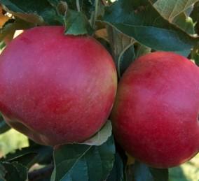 У нас вы можете купить яблоки различных сортов.